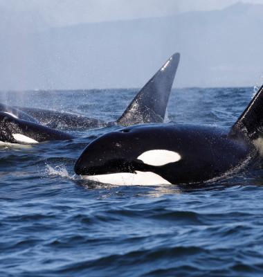 balene ucigase in apa doar cap