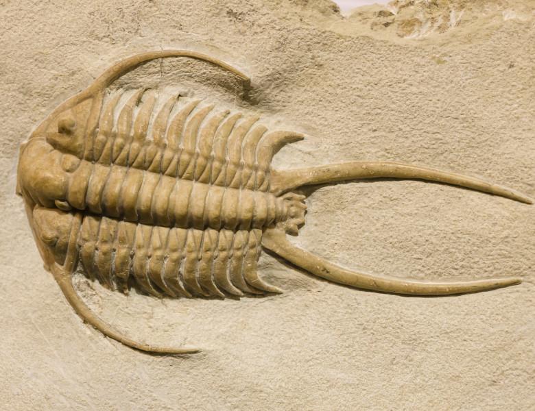 fosila trilobit din perioada cambriana