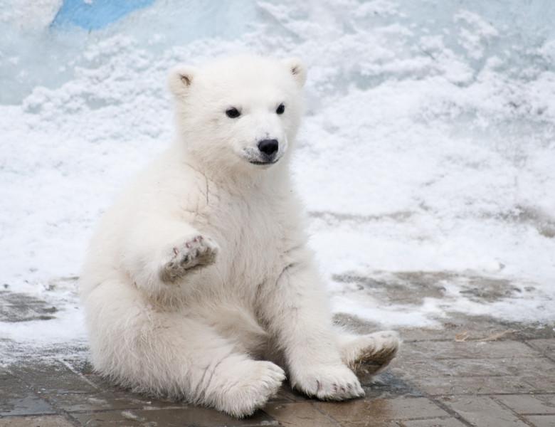 pui de urs polar care face cu mana