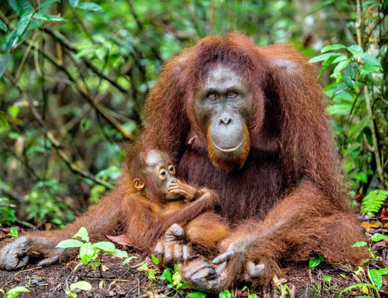 femela urangutan si pui in jungla
