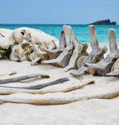 The skeleton of a whale lie on the beach at Gardner Bay, Isla Es