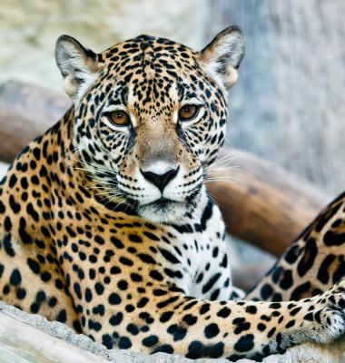 leopard care sta linistit
