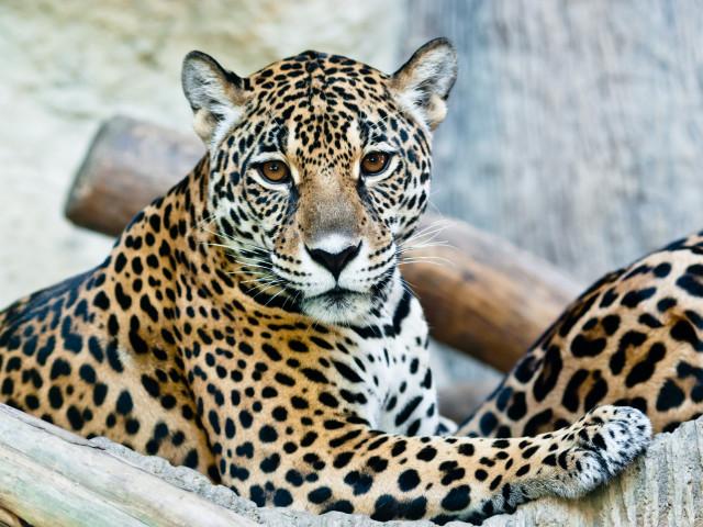 Leopard și viziunea sa - vsams-tamas.ro