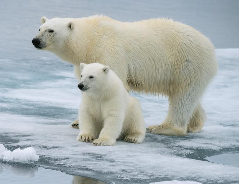 ursi polari si pui pe gheata