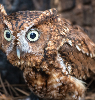 bufnita eastern screech owl