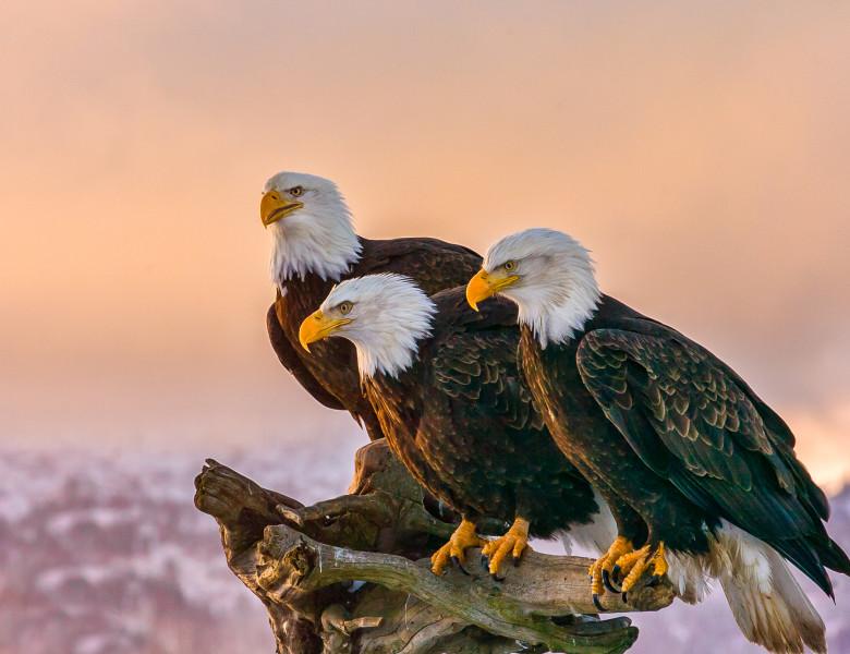 trei vulturi cu capul alb