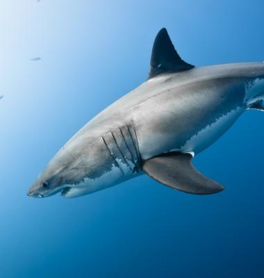rechin alb cu botul in jos