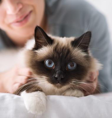pisica draguta birmaneza cu stapana
