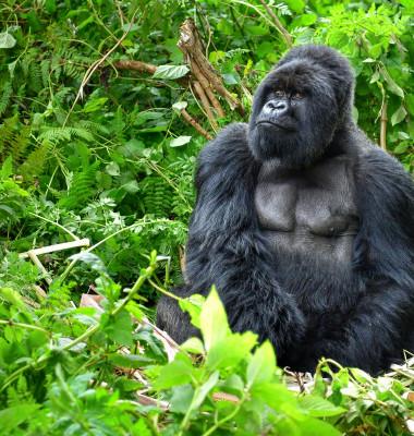 gorila in jungla