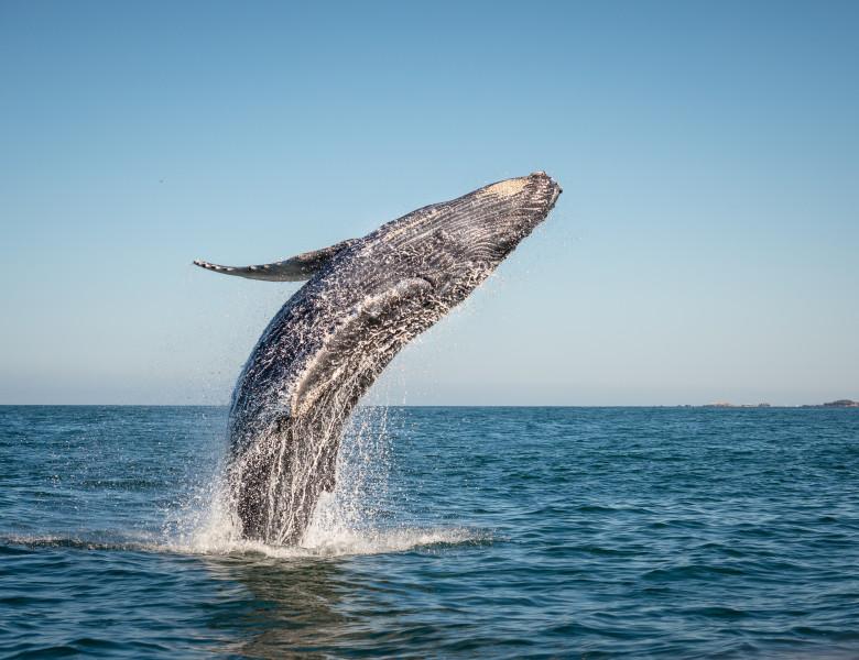 balena cu coacasa ce sare din apa
