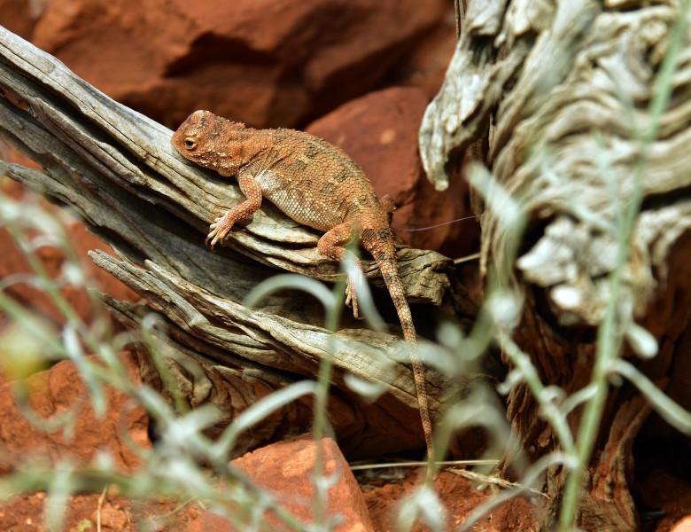 reptila soparla dragon fara urechi australia