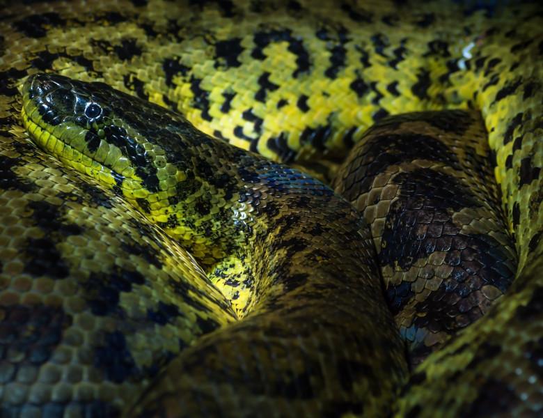 sarpe reptila anaconda