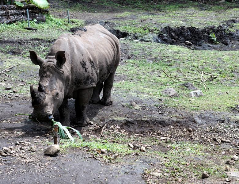 rinocer de sumatra