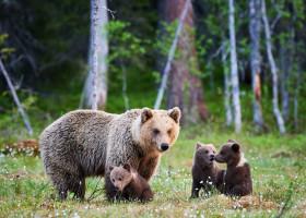 ursoairca cu 3 pui