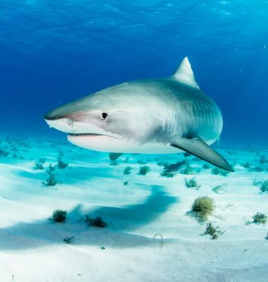 rechinul tigru