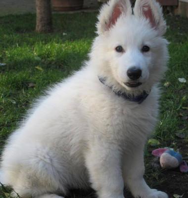 lupi albi 2