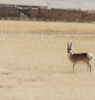 antilopa tibetana