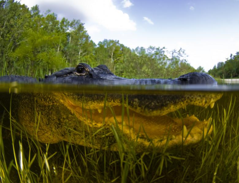 cap aligator in apa