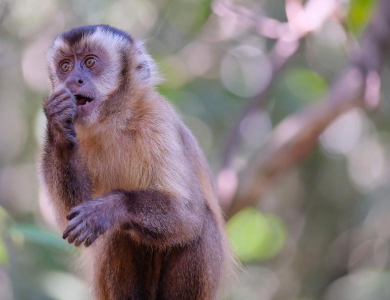 maimuta capucin brazilia