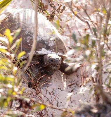 broasca testoasa care sapa din Floria