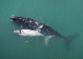 balena eubalaena