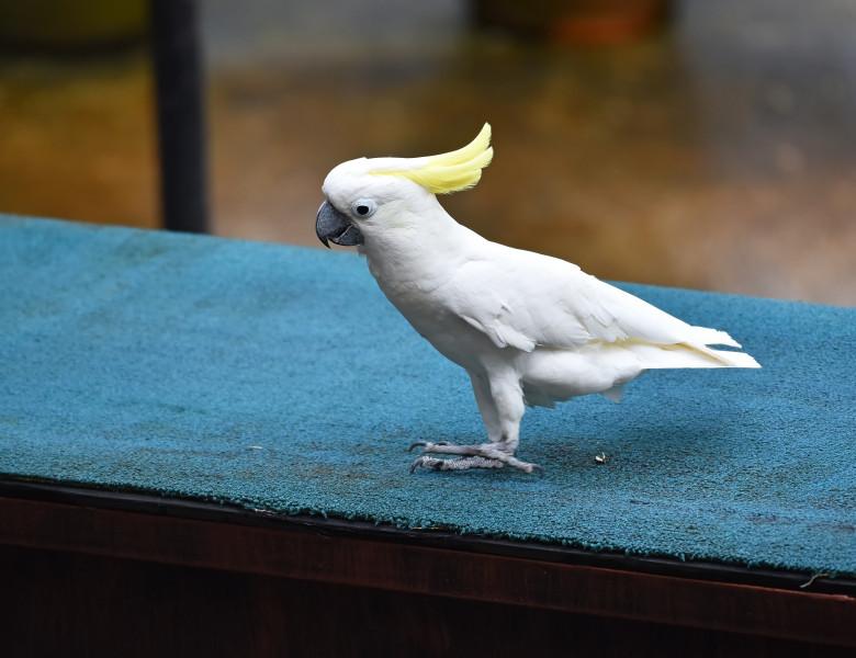 papagal cacadu