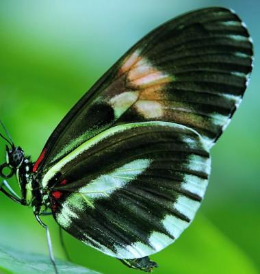 fluture fain