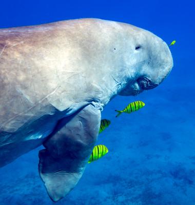 mamifer dugong