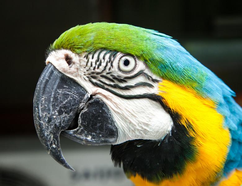 capatana papagal