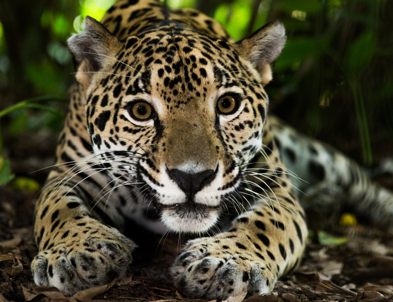 jaguar in cusca