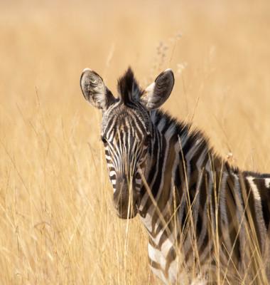 zebra in camp