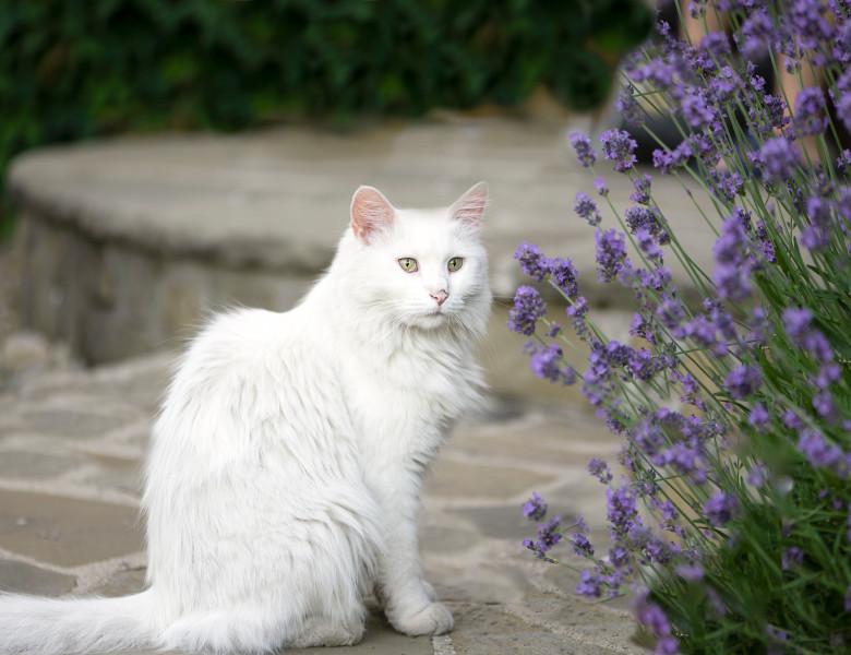 pisica levantica