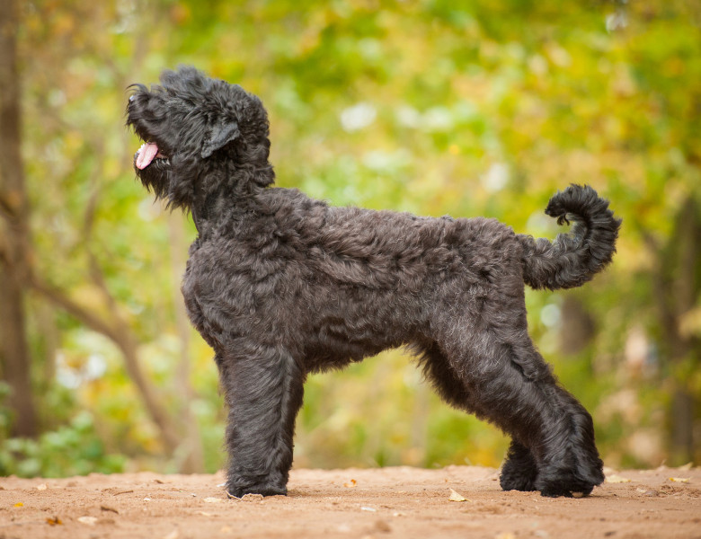 Caine Russian Black Terrier