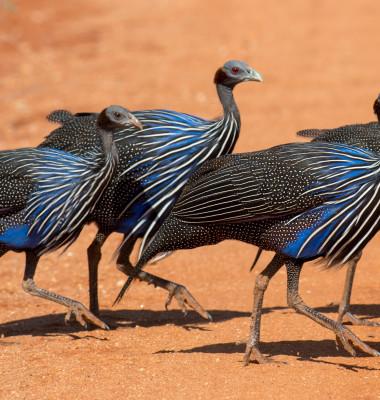 bibilica-vultur 2