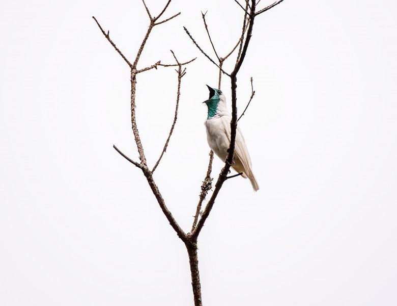 pasare-alba clopot Brazilia