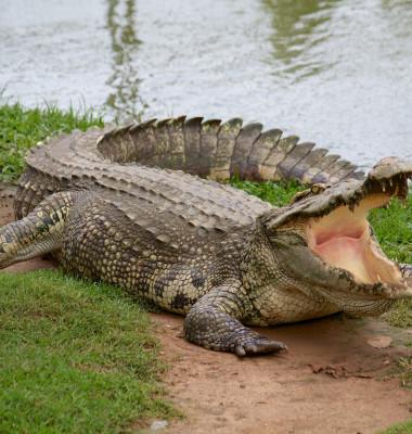 crocodil pe uscat