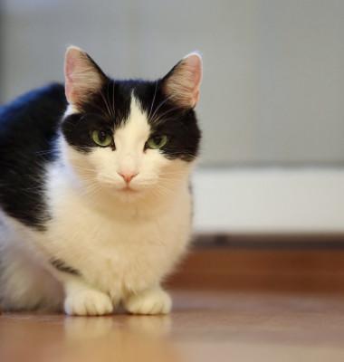 pisica alb negru (2)