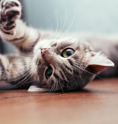pisica gri invers