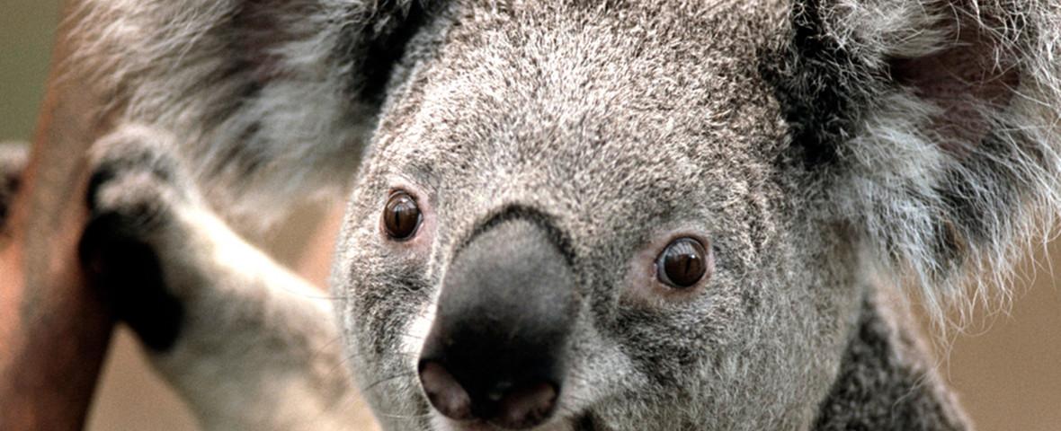 koala in pom