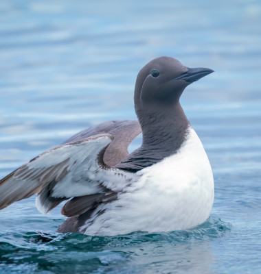 pasare marina common murre
