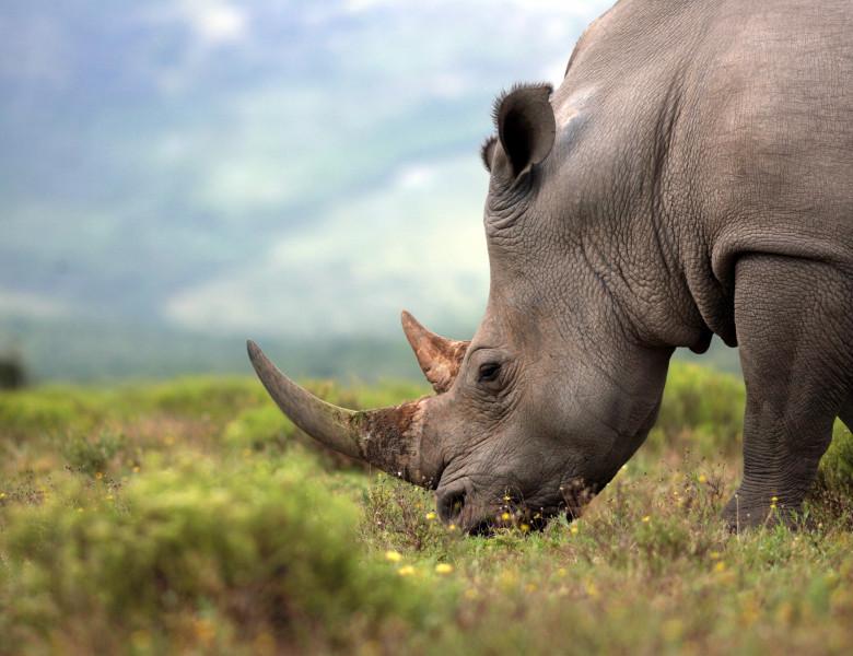 cap de rinocer