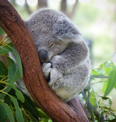 pui de koala
