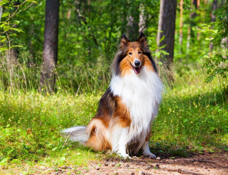 caine lassie