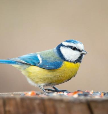 pitigoi albastru pasare