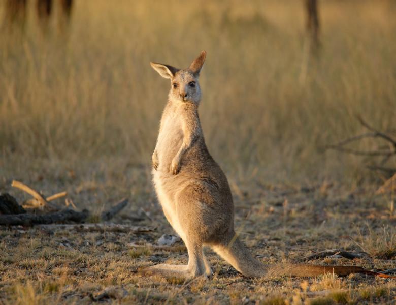 wallaby de mlastina