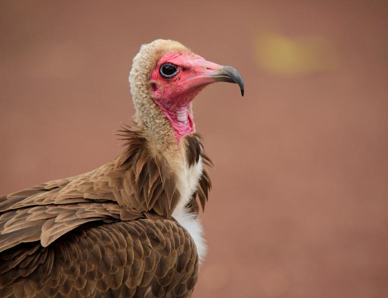 vultur cu gluga