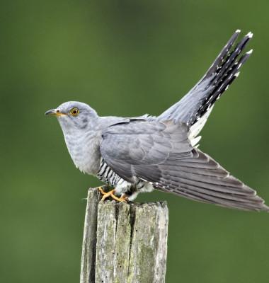 pasare cuckoo cucus migratie marea britanie