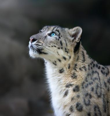 leopard al zapezilor