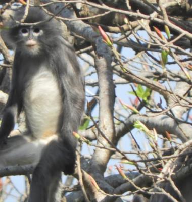 o noua specie de maimute
