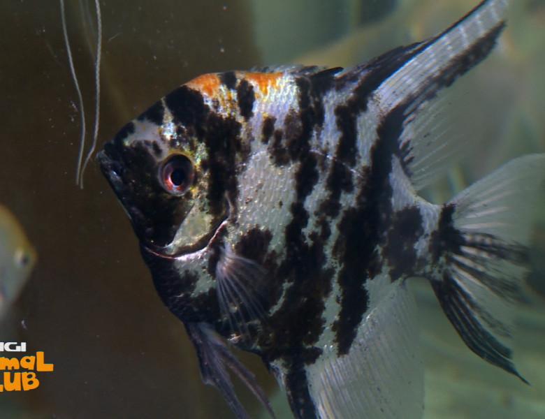 digi-animal-club-acvaristica-02-ianuarie-pesti